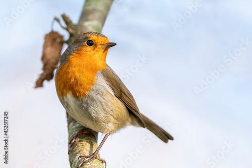 Obraz na plátně Robin redbreast ( Erithacus rubecula) bird a British garden songbird with a red