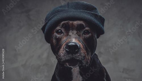 Obraz na plátně Stylish dog bull terrier breeds wearing hat