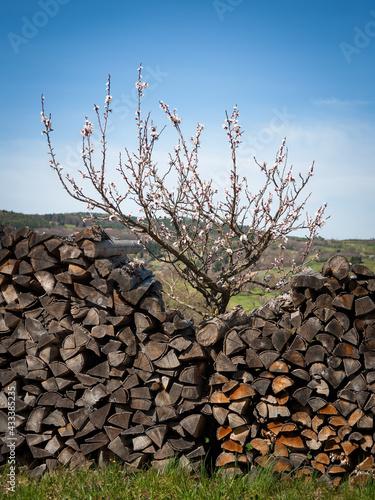 Fotografija Young cherry tree between piles of firewood