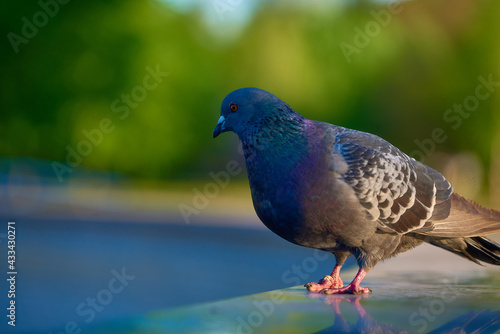 Canvas Print pigeon in the park