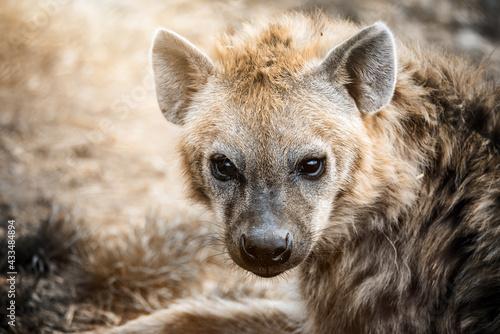 Tablou Canvas Hyena portrait