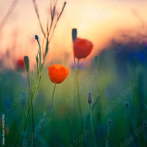 A beautiful summer field with red poppy flowers. Summer scenery with flowers in the cultivated field in Northern Europe.