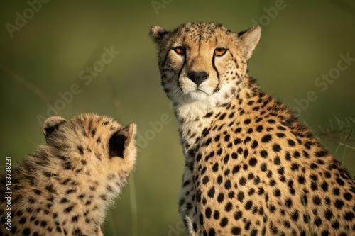 Fotografia, Obraz Close-up of cheetah eyeing camera with cub