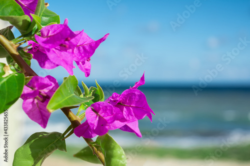 Photo Purple bougainvillaea flowers in front of Mediterranean sea background