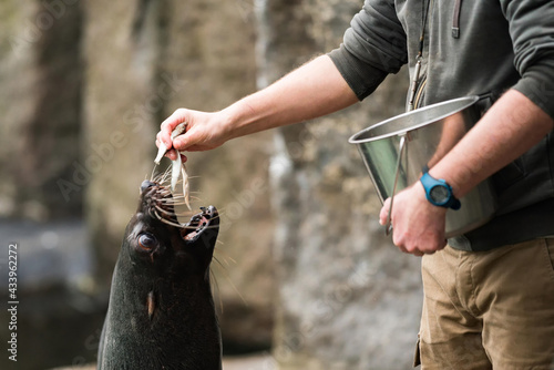 Zoo keeper feeding and caring for Sea Lions in their facility Fototapete