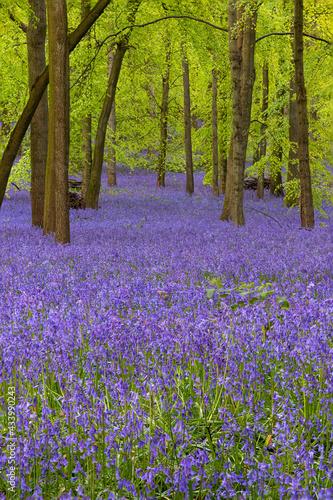British forest full of Bluebells (Hyacinthoides) flowers Fotobehang