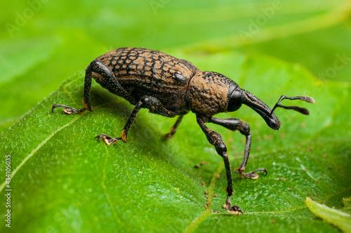 Fotografia Adult specimen of fig weevil (aclees cribratus Gyllenhy)