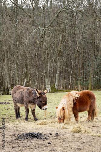 Valokuva Little donkey and Shetland pony in a field eating hay
