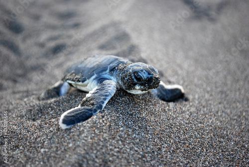 Fotografie, Obraz Baby Turtle