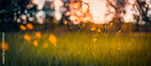 Abstract sunset field landscape of yellow flowers and grass meadow on warm golden hour sunset or sunrise time. Tranquil spring summer nature closeup and blurred forest background. Idyllic nature
