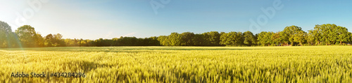 Leinwand Poster Green Wheat Field in Summer near Sunset - Panorama