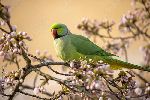 Fotografie, Obraz view of green parakeet (Psittacula krameri) perching on blooming tree