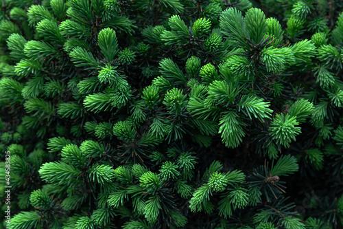 Fototapeta fresh green growths on  fir trees