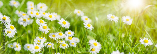 Fotografering panoramic banner with daisies in grass