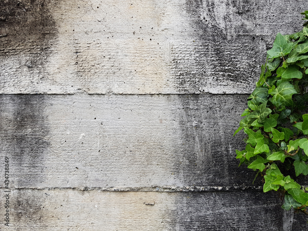 green ivy leaves agains a rough concrete wall
