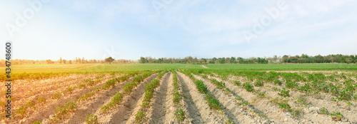 Fotografie, Obraz Yucca plantation and sky. Cassava cultivation concept