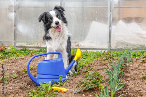 Fotografia Outdoor portrait of cute smiling dog border collie with watering can on garden background