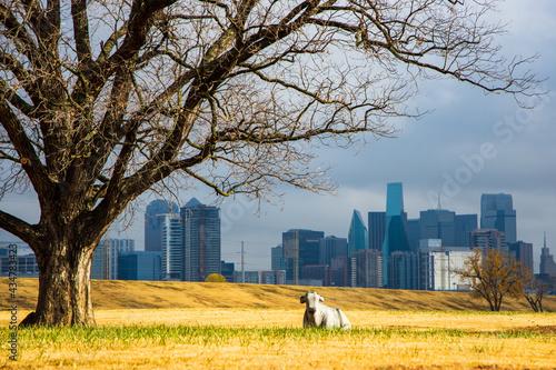 Fototapeta Concrete Cow In A Park Outside Dallas