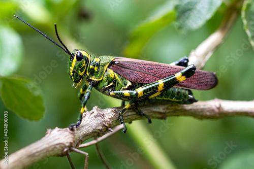 Obraz na plátně Chromacris speciosa - grasshopper soldier in the stick in the green background