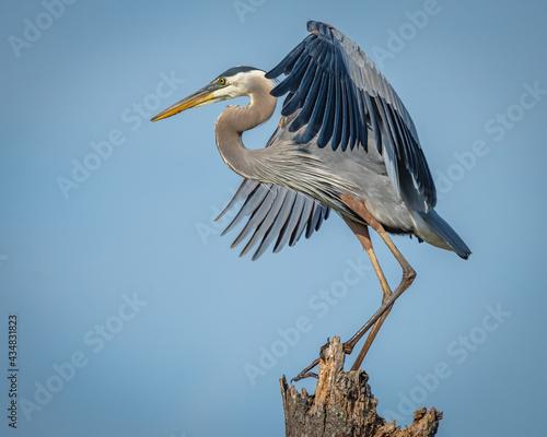 Fotografie, Tablou Great Blue Heron on a stump