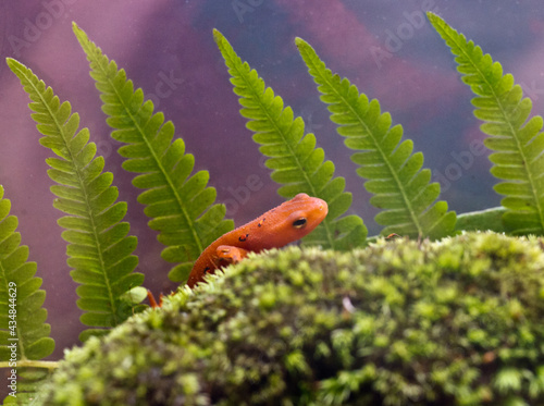 Canvas Print Eastern red spotted newt 38
