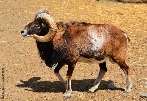 Fotografia The European mouflon (Ovis gmelini musimon) is a subspecies and a descendant of the Armenian mouflon