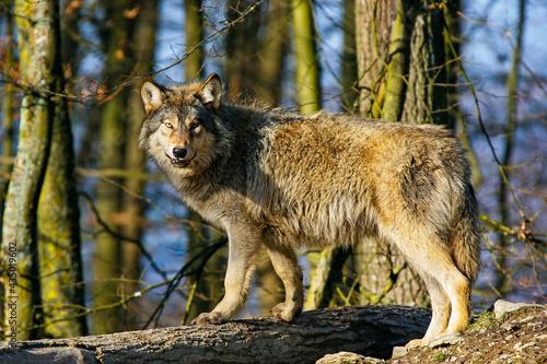 Fényképezés Wolf