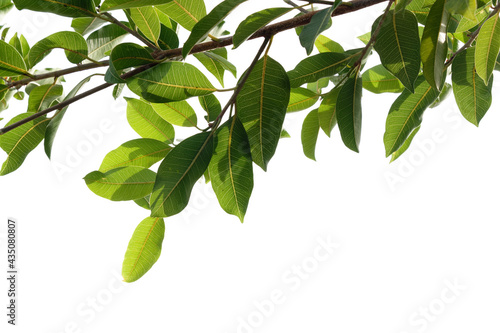 Slika na platnu Fresh green tree branch isolated on white background