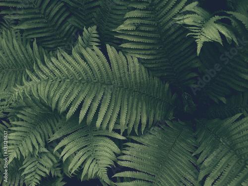 Obraz na plátně Dark green fern leaves, forest nature, background with haze.