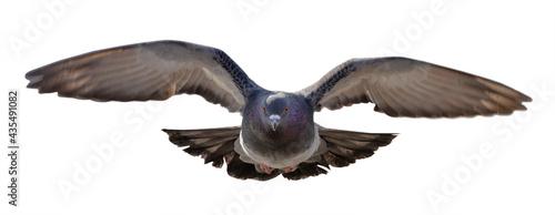 Fotografia rock dove  in flight direct view