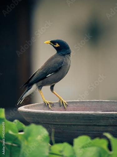 Bird fetching water from the pot Fototapeta