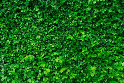 Fototapeta Closeup evergreen hedge plants