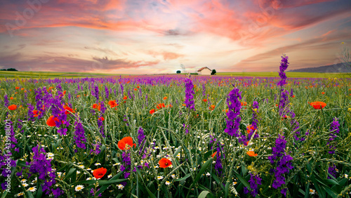 Photo Agriculture field, grainfield with delphinium flowers (larkspur) and poppies in summer on sunset clouds sky