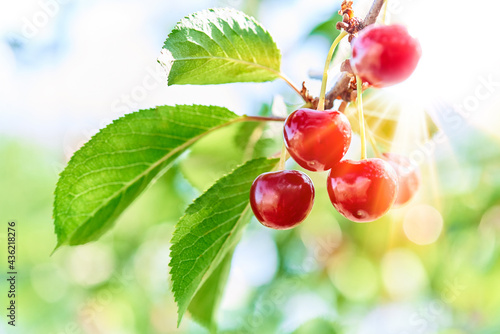 Fotografering Close-up of cherries growing on tree
