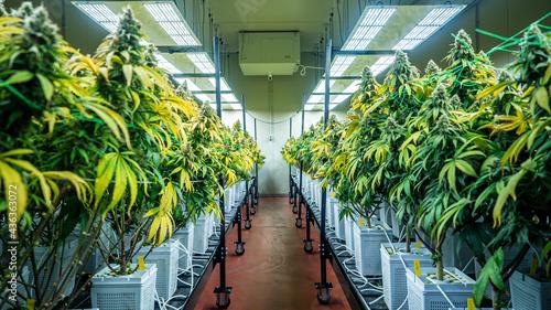 Canvas-taulu Flowers from an indoor cannabis grow