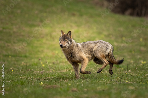 Photo Grey Wolf (Canis lupus)
