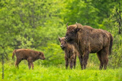 Photo European Bison (Wisent) /Bison bonasus/ The Bieszczady Mts