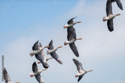 Fotografiet A skein of geese flying together just after taking off