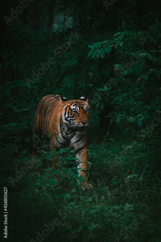 Billede på lærred Vertical shot of a beautiful Bengal tiger walking in the lush green forest