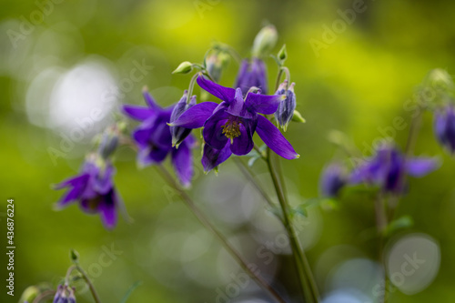 Obraz na płótnie Close-up of violet aquilegia vulgaris European columbine flowers in the spring g