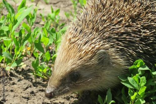 Obraz na plátne Closeup of head hedgehog in the grass