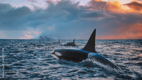 Fotografering Orca Killerwhale traveling on ocean water with sunset Norway Fiords on winter ba