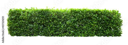 Fotografija Tropical Flower shrub bush fence tree isolated  plant with clipping path