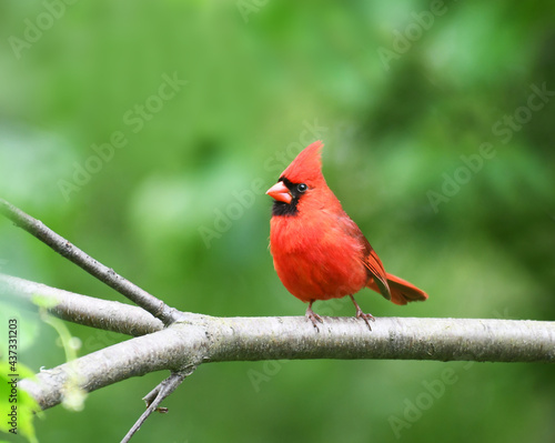Canvas red cardinals standing on the spring green tree branch