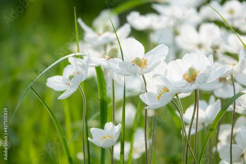 Fotografia Japanese anemone Elfin Swan - Latin name - Anemone japonica Elfin Swan in garden