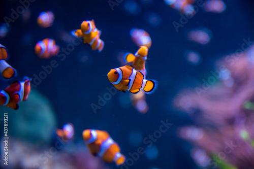 Fényképezés clownfish