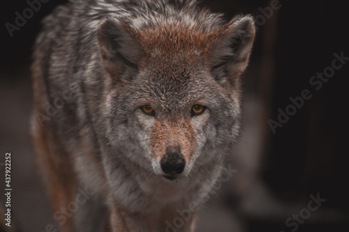Fényképezés Coyote in Tennessee