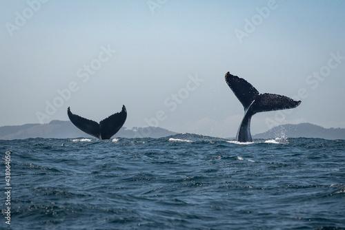 Obraz na plátně Humpback whale tail slapping in the Cape Byron Marine Park off Byron Bay, New So