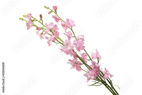 Canvas Print perennial delphinium flowers isolated