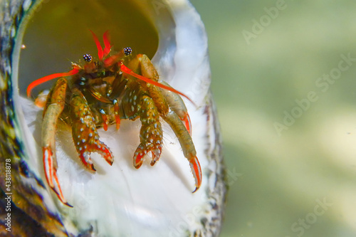 Small funny hermit crab underwater close up. Fototapet